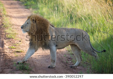 Big lion on the african road - stock photo