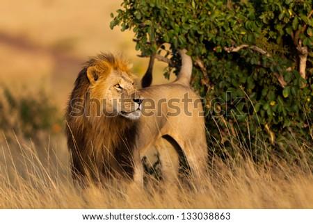 Big Lion, ten years old, marks his territory, Marsh Pride, Masai Mara, Kenya - stock photo