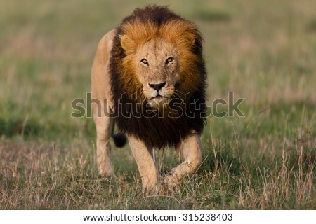 Big Lion walking in Masai Mara, Kenya - stock photo
