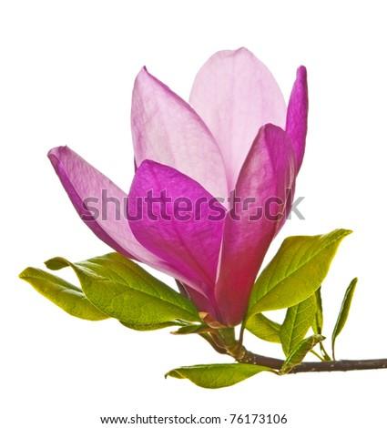 big magnolia flower - stock photo