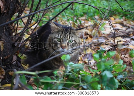 Big maine coon cat under tree in the autumn forest. - stock photo