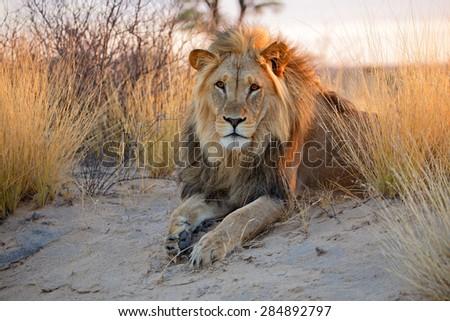 Big male African lion (Panthera leo) in early morning light, Kalahari desert, South Africa - stock photo