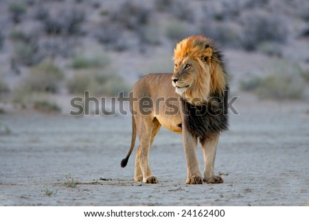 Big male African lion (Panthera leo), in late afternoon light, Kalahari desert, South Africa - stock photo