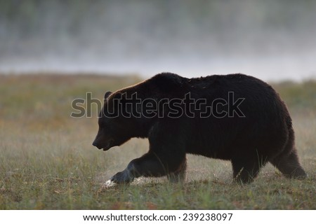 Big male bear walking in the foggy bog - stock photo