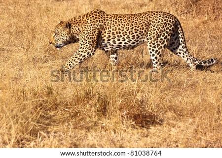 Big male leopard dominant walk side profile - stock photo