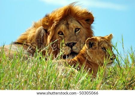 Big male lion and cub soaking up the sun in Serengeti National Park, Tanzania. - stock photo