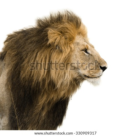 Big male lion isolated on white - stock photo