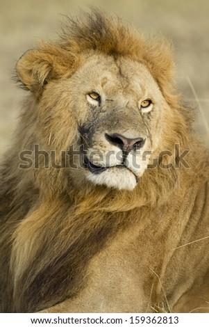 Big Male Lion (Panthera leo) in Kenya's Maasai Mara National Reserve - stock photo