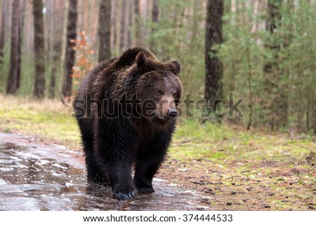 big male of brown bear (Ursus arctos) in winter forest, Europe, Czech republic - stock photo