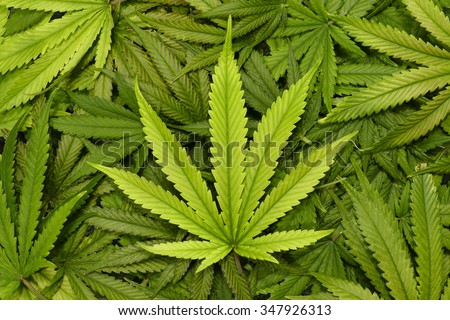 Big Marijuana Leaf Close Up with Texture Background of Cannabis Leaves in a Pile - stock photo