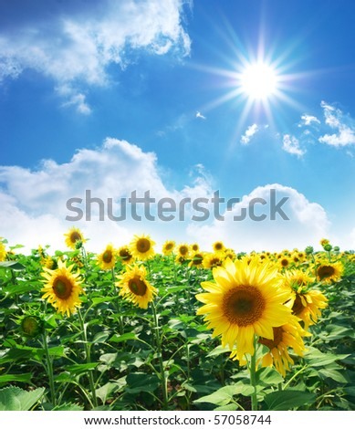 Big meadow of sunflowers. Design of nature. - stock photo