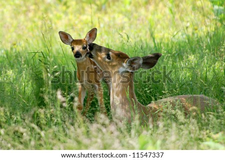 Big Meadow Shenandoah National Park Doe and Fawn - A Mother's Love Horizontal - stock photo