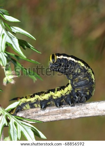 Big monarch caterpillar - stock photo