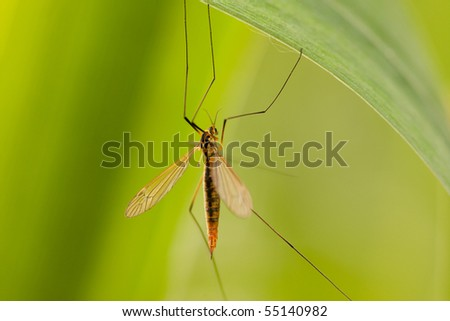 big mosquito sit on green leaf - stock photo