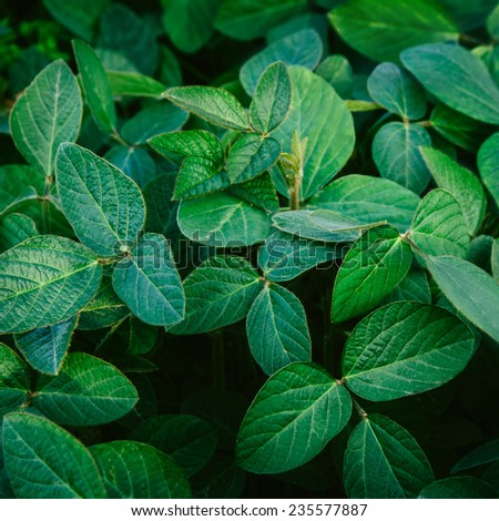 Big natural young and green leaves of soybean. Fresh look. - stock photo