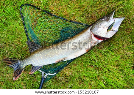 Big Northern Pike (Esox lucius) on a landing net.  - stock photo