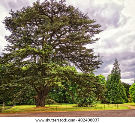 Big old Cedar tree in Park of Audley End House in Essex in England. It is a medieval county house. Now it is under protection of the English Heritage. - stock photo