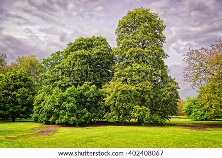 Big old chestnut trees in Park of Audley End House in Essex in England. It is a medieval county house. Now it is under protection of the English Heritage. - stock photo