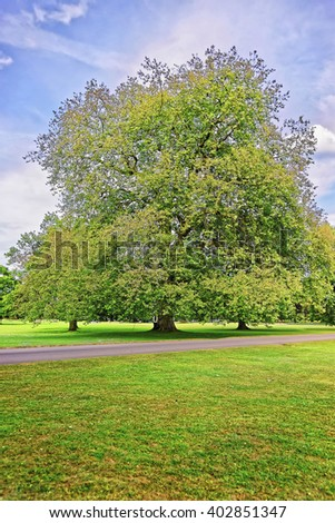 Big old maple tree in Park of Audley End House in Essex in England. It is a medieval county house. Now it is under protection of the English Heritage. Person nearby - stock photo