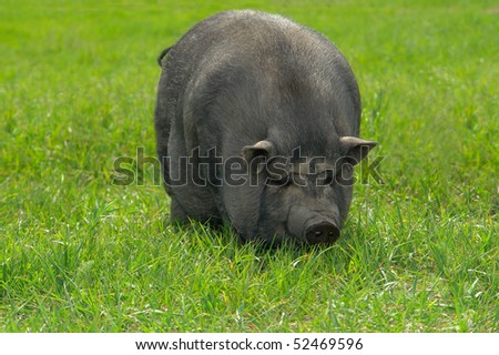 big old pig on a pasture - stock photo