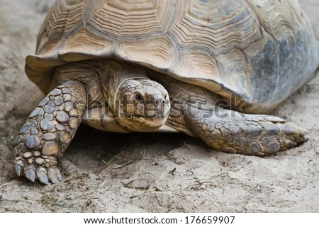 Big old turtle walking on sand in close view - stock photo