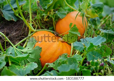 Big orange pumpkins growing in the garden - stock photo