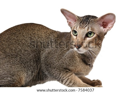 big oriental cat with green eyes - stock photo