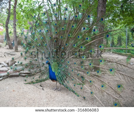 Big peacock showing its beautiful feathers - stock photo