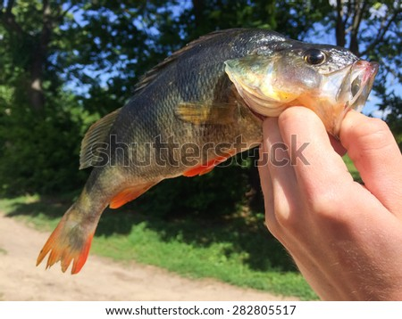 Big perch in the hands of the fisherman. Fishing leisure. Fishermen's trophy. - stock photo