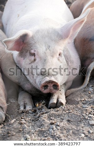 big pig laying on the ground in farm yard - stock photo