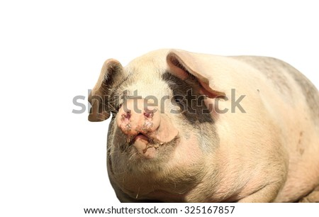 big pink sow portrait isolated over white background, looking towards the camera - stock photo