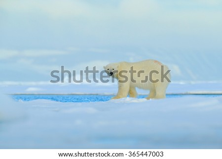 Big polar bear on drift ice edge with snow a water in Arctic Svalbard, big white animal in the nature habitat,  foggy mountain in the background, Norway - stock photo