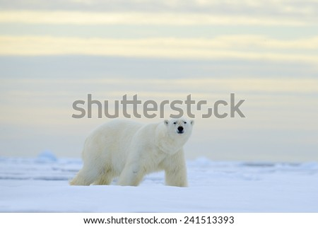 Big polar bear on drift ice with snow, blurred nice yellow and blue sky  in background, Svalbard, Norway - stock photo