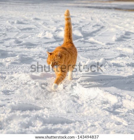 Big red cat on a walk in the snow - stock photo