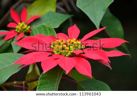 Big Red Poinsettia Flower in a Bush. Christmas decoration - stock photo
