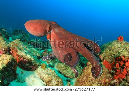 Big Red Reef Octopus - stock photo