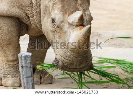 Big rhinoceros live in zoos Khao Kheow. - stock photo