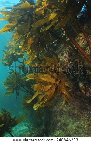 Big rock covered with kelp Ecklonia radiata - stock photo