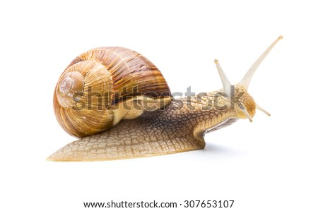 big roman snail isolated on white background - stock photo