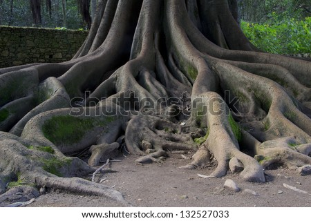 Big roots above the surface. - stock photo