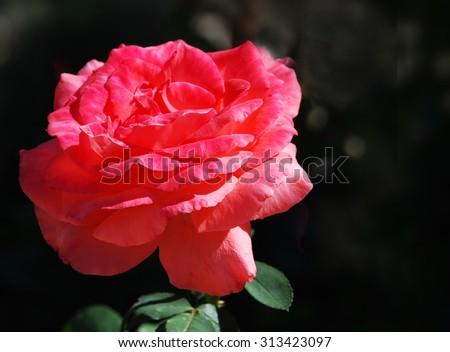 Big rose on black in spring - stock photo