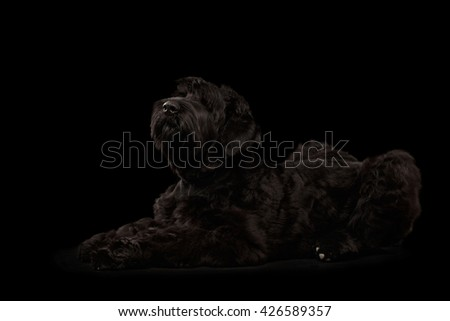 Big Russian Black terrier Dog Lying and Looking up on Isolated Background, Side view - stock photo