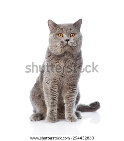 Big scottish cat sitting in front. isolated on white background - stock photo