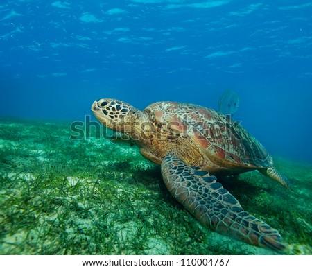 big sea turtle on the seaweed bottom on Philippines - stock photo
