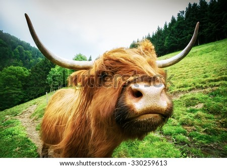 Big shaggy highland cow looking into camera with funny expression. Vintage effect.  - stock photo