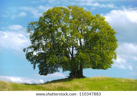 big single beech tree - stock photo