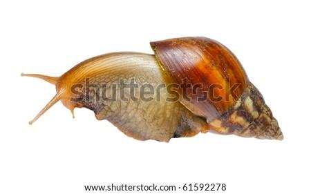 Big snail isolated n white background - stock photo