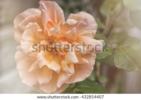 Big soft pink rose in close up - stock photo