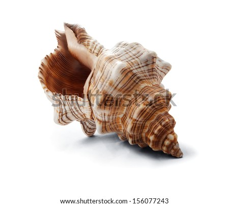 Big spiral striped seashell isolated on white. - stock photo