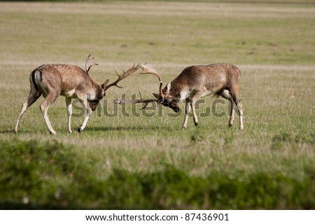Big stags rutting in the forest - stock photo